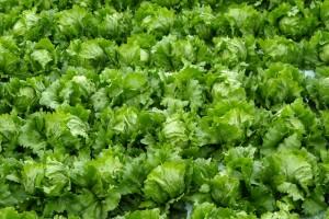 lettuce03