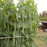 スナップエンドウ栽培の秘密♪♪/あなたもベランダで育ててみませんか?