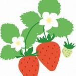 イチゴの栽培(育て方)豆知識/イチゴを家庭菜園で育てよう!