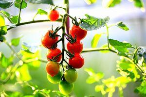 tomato-all